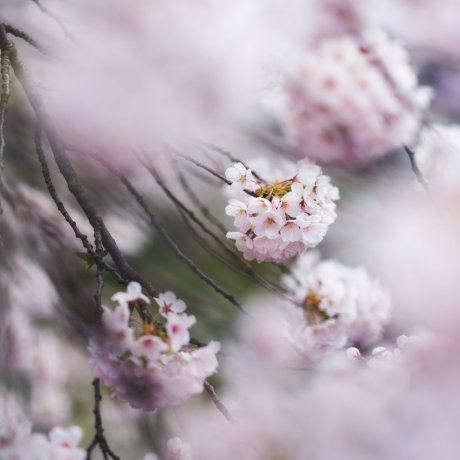 Cherry Blossom Guide: Flower Types